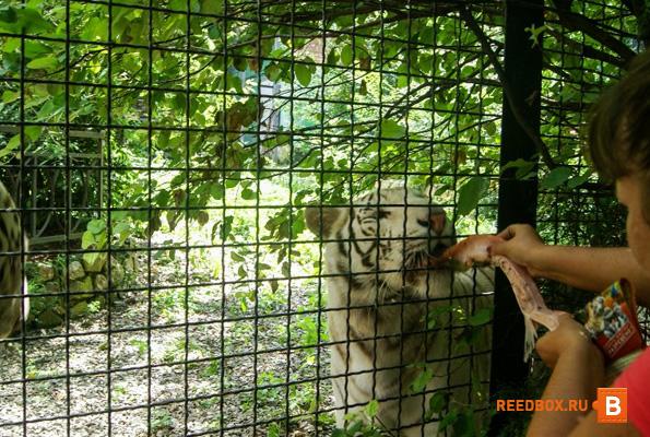 кормит тигра с рук